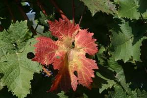 Rote Blätter sind bei Dornfelder häufig zu sehen (JS)