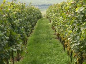 Unser Chardonnay im Hinter Berg kurz vor der Lese