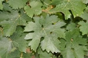 Die Blätter des Schönburgers sind auffällig stark gelappt (JS)