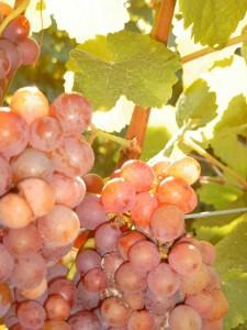 Unterschiedliche Beeren bei Traminer (JS)