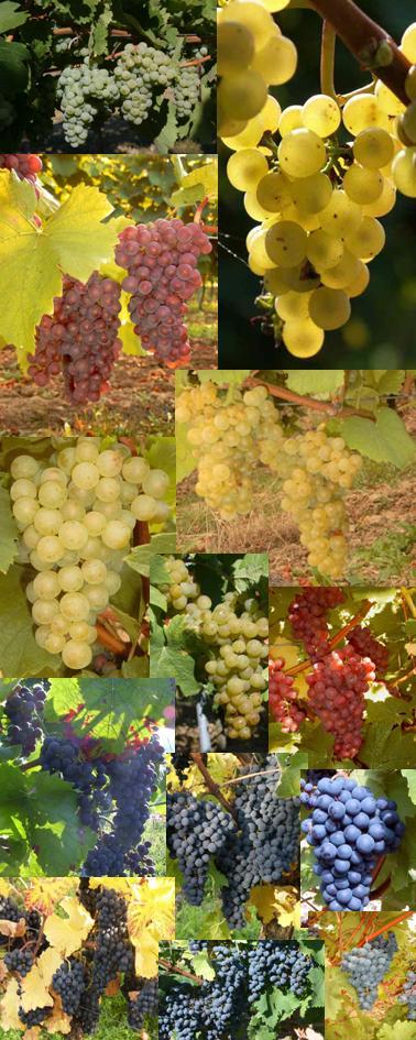 Trauben werden zu Wein