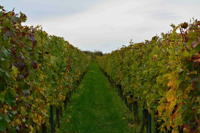 Cabernet-Sauvignon Rebzeile im Herbst 2013 - kurz vor der Lese