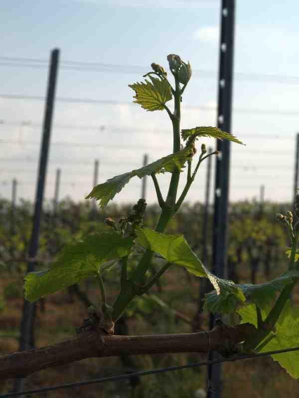 Chardonnay am 22. Aprl 2011